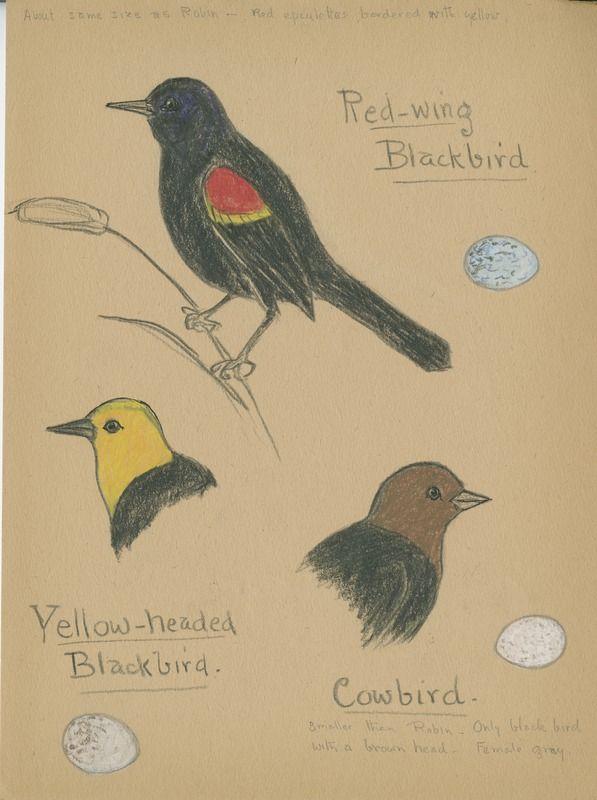 Red-wing Blackbird, Yellow-headed Blackbird, Cowbird | saskhistoryonline.ca