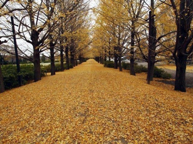 東京都の国営昭和記念公園の2017紅葉情報。例年の色づき時期や見頃、地図・天気・交通アクセス情報はもちろん、ライトアップ日時やイベントなど開催情報をご案内。クチコミ・穴場情報も募集しています。
