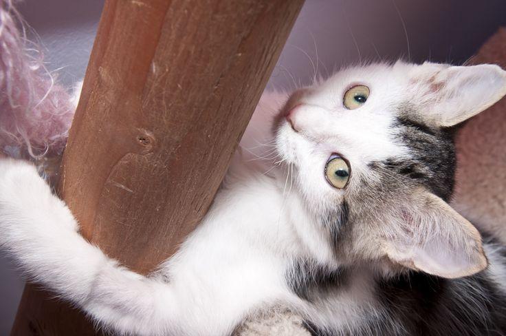 Little kitten Kingsley