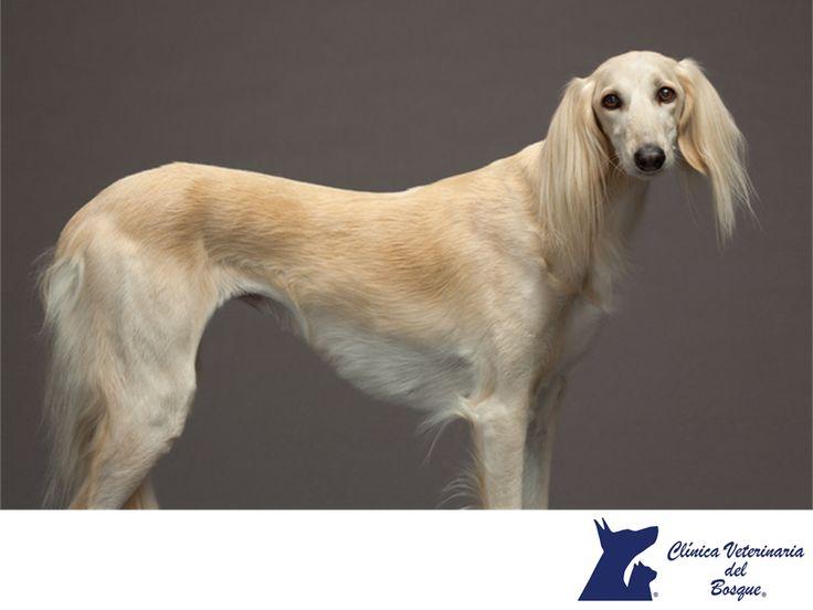 Galgo Saluki. CLÍNICA VETERINARIA DEL BOSQUE. El galgo Saluki es un perro elegante y majestuoso. Es un perro de dimensiones cuadradas con una cabeza muy delgada y hocico largo. De hecho, su cráneo es más ancho que su hocico. Sus ojos tienen forma almendrada y siempre son de color oscuro. En Clínica Veterinaria del Bosque te invitamos a comunicarte con nosotros al 5360 3311 para resolver tus dudas sobre este tipo de razas. #cuidadodemascotas