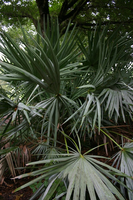 Palm House Plants Identification on tropical trees identification, palm looking house plant, palm fruit identification, palm plants care of, palm house greenhouse, palm plant leaves turning brown, palm to grow good in homes, common house plants identification, palm house plant in a trim, palm trees, palm plant diseases, indoor house trees identification, palm fern house plant, palm like plants, palm leaf house plant, palm identification guide, palm grass plant,
