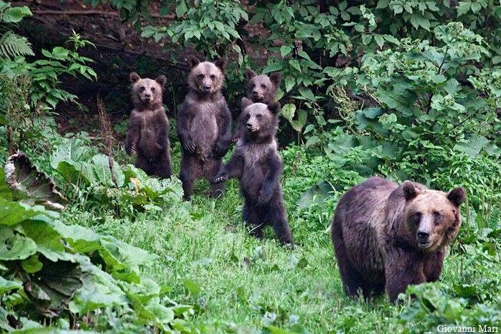 Photographer Giovanni Mari~ Carpathian Brown Bear, Piatra Craiului NP - Romania