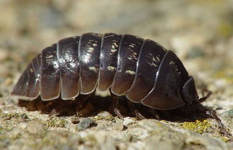 Le cloporte est le seul crustacé terrestre . Sa nourriture est constituée de végétaux et d' animaux . La femelle pond des oeufs qu' elle porte dans une poche,sous son thorax, pendant toute l 'incubation. Le cloporte accélère aussi la décomposition des...