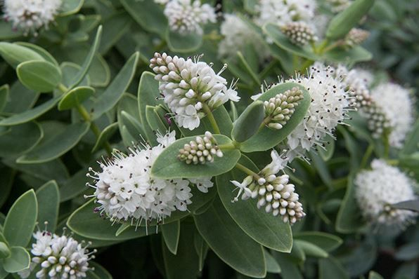 Hebe 39 albicans 39 h60cm s90cm full sun or partial shade for Small flowering shrubs for full sun