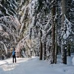 Cross country skiing in winter wonderland