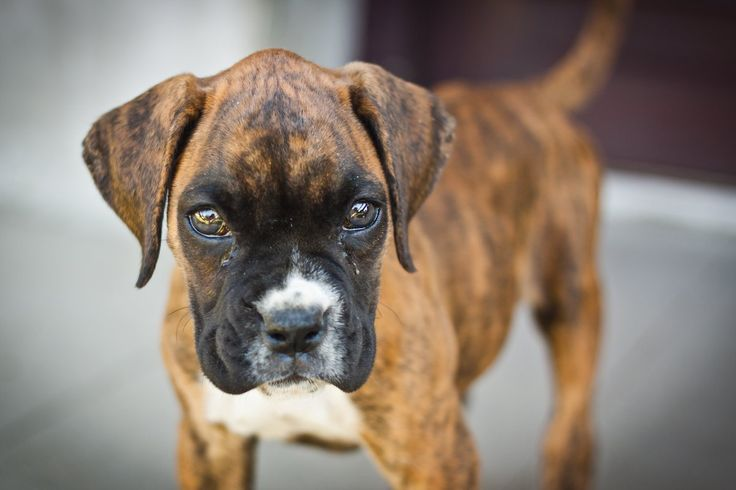 Young boxer - in memory of Luna, I miss you, you died too soon :(  #boxer #dog #luna