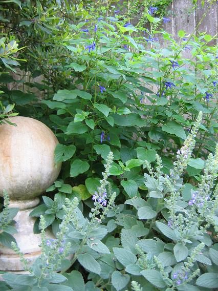 17 Best Shade Plants For Austin Texas Images On Pinterest