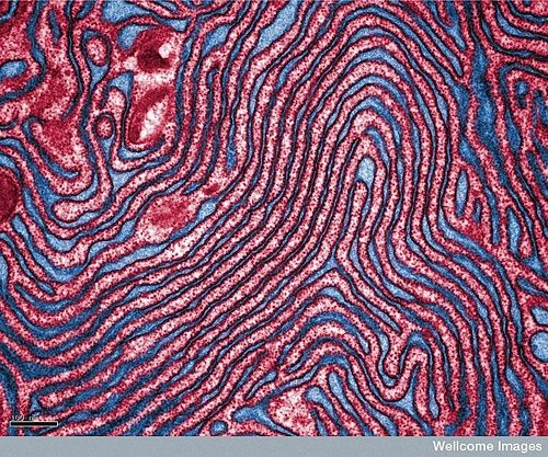 endoplasmic reticulum (ER)- a system of internal membranes that move proteins and other substances through the cell #medicine #anatomy #microscopic #photography #images #human