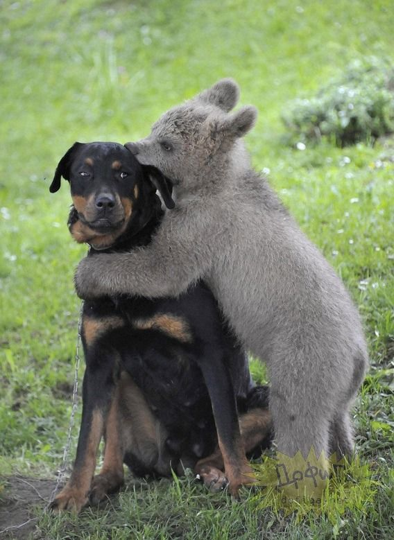 Lucky the bear cub playing with his dog friend Aijka