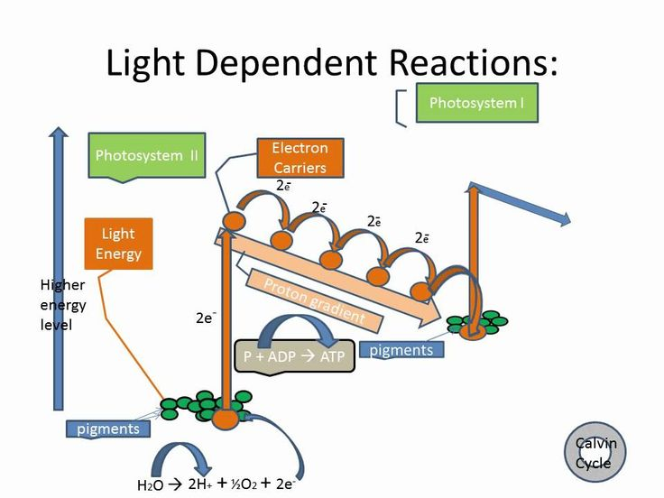 an analysis of the products of light dependent reactions and the calvin cycle Nadph is a product of the first stage of photosynthesis and is used to help fuel   it provides energy to fuel the calvin cycle in the second stage of photosynthesis   the light-dependent reactions break down water molecules,.