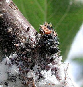Le puceron lanigère (Eriosoma lanigerum) est une espèce de puceron (famille des Aphididae) aptère originaire d'Amérique. Sa cible principale étant le pommier, on le surnomme parfois puceron lanigère du pommier. Dans le même genre Eriosoma, on trouve l'espèce Eriosoma lanuginosum Hartig, 1839, dont la cible est l'orme champêtre (Ulmus minor).  Les adultes sont de couleur marron et mesurent environ 2 mm de long. Ils sont recouverts d'un abondant amas cotonneux blanc.