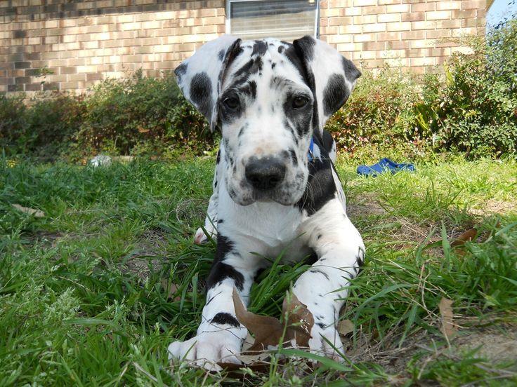Harlequin Great Dane Puppy!! I WANT HIM!!!