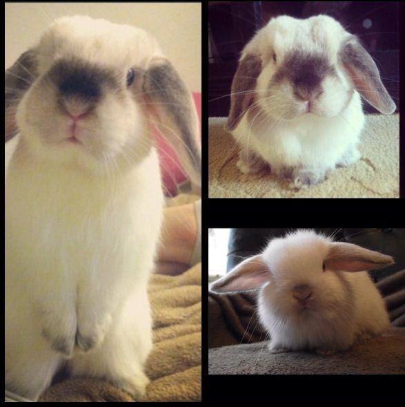 Holland lop bunny <3 My birthday present next year?!