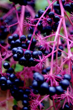 Elderberry, one of the ingredients used to provide our consumers with a strong antioxidant blend, has been used to boost the immune system, treat flu, improve vision, and boost overall respiratory health.