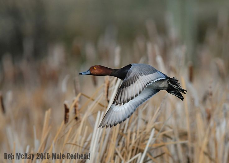 Redhead Duck | Redhead Duck In-Flight Photo : Nature Wildlife Photography Calgary ...