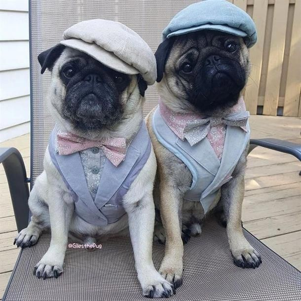 I Said No Photos Pugs In Costume Pugs Funny Baby Pugs