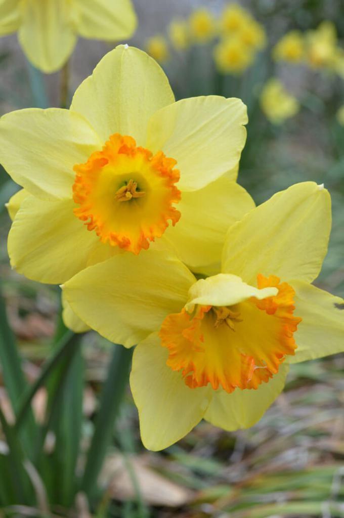 Daffodils From The Garden Daffodil Gardening Daffodils Beautiful Flowers Garden
