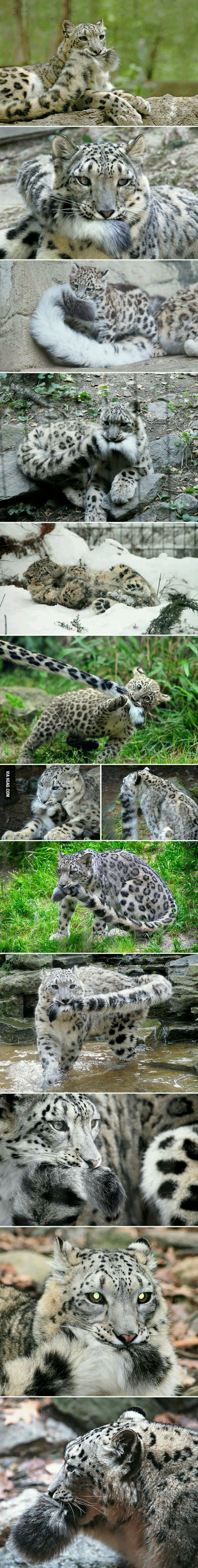 For anybody who's having a bad day here are some snow Leopards nibbling on their tails
