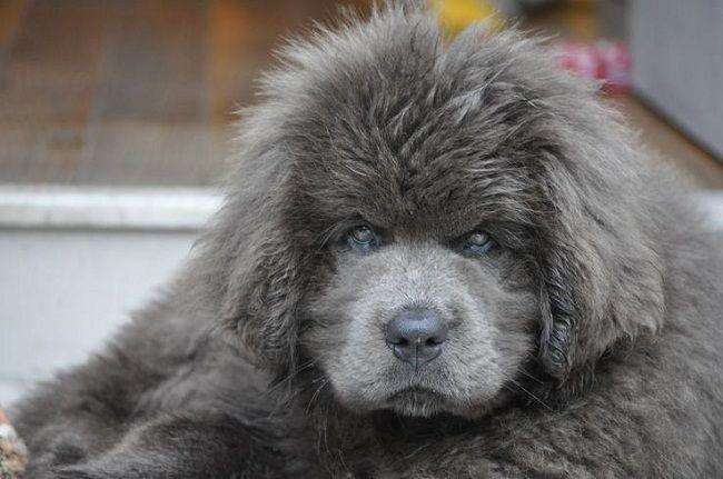 Best 25 Newfoundland Dogs Ideas On Pinterest