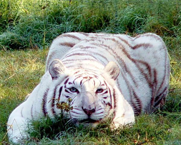 zlatá mramorovaná fotografie mládě Bengálský tygr: Bílý tygr bengálský whitetiger02b.jpg