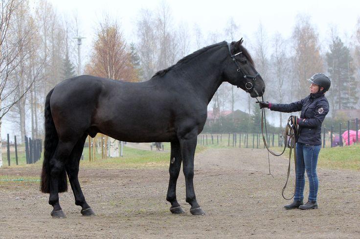 Riding-horse type Finnhorse stallion Lavilan Viljo. Photo © Suomen Hippos/Pirje Fager-Penttilä