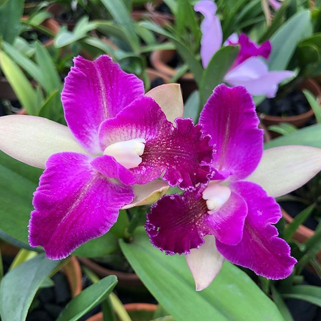 Newly Bloomed Its The Blooming Season For Our Cattleyas And Brassocattleyas Visit Our Nursery At 11 Lorong Pasu To Orchidaceae Orchid Flower Amazing Flowers
