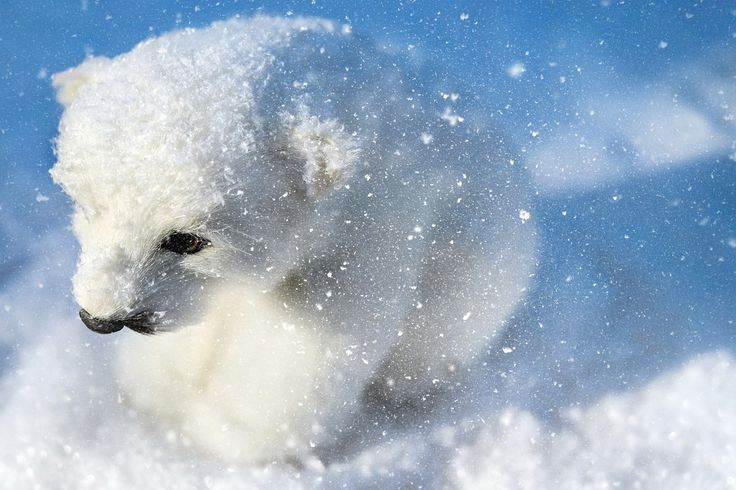 If you've ever wanted to see incredible cold climate wildlife like Polar bears, penguins, reindeer and walruses, but didn't know where, here's help.