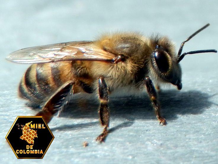 En las abejas de la miel la glándula Nasanoff se ubica en la parte dorsal del abdomen. Cuando las abejas no están excitadas, la glándula está cubierta, pero si la abeja adopta una posición para llamar a sus congéneres se le dilata el abdomen y entonces la glándula surge al exterior, se forma entonces una raya blanca, denominada surco o canal odorífero. La sustancia liberada actúa como una feromona; es decir, como de transmisor químico.pedidos: 3012020777 - 3117402833…