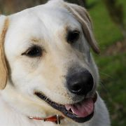 As large dogs, Labradors require good nutrition to live long, healthy lives. Some Lab owners feed their dogs homemade diets to avoid common fillers found in commercial dog food, including meat byproducts, corn, wheat, artificial colors and additives. Feeding a Lab from your kitchen requires careful attention to preparing balanced meals for this...