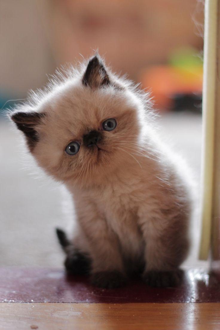 Best 25 Flat faced cat ideas on Pinterest