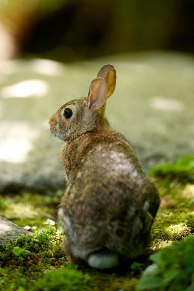 Wild Backyard Rabbits : 1000+ images about Rabbits on Pinterest  A bunny, Jack oconnell and