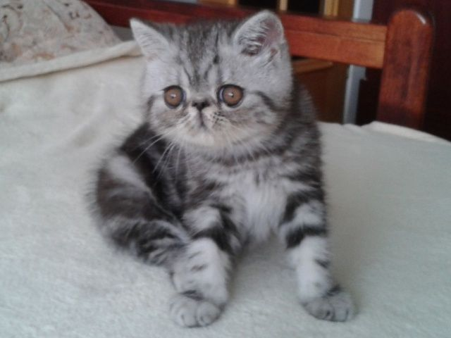 silver tabby kittens for sale | Cute Cats Pictures