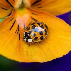 Camo Ladybug