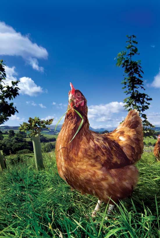 18 best images about Homesteading...Maybe someday :) on ... Raising Chickens
