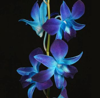 Blue Orchid, I LOVE this!!!