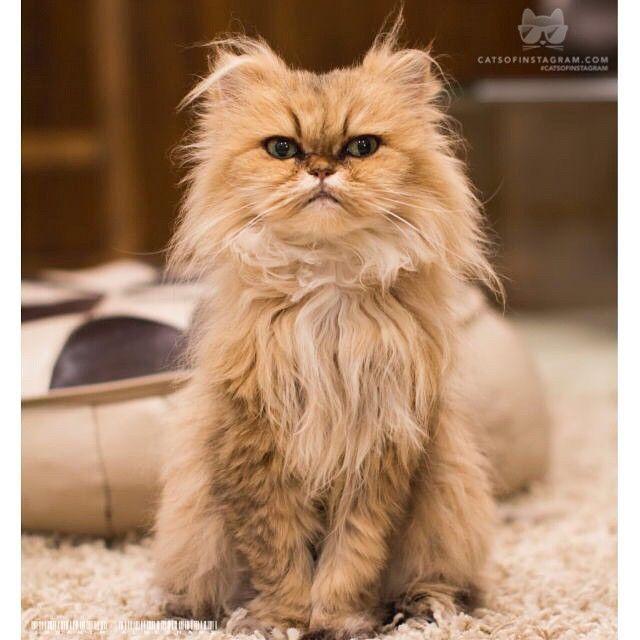 "catsofinstagram:From @ialbeshari: ""bad hair day!"" #catsofinstagram [source: http://ift.tt/1AsZ99p ]"