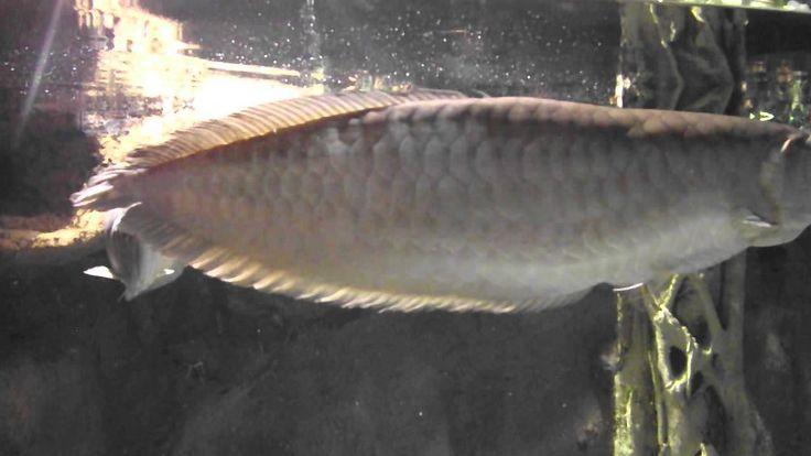 Аквариумная рыбка, Аравана серебрянная, Osteoglossum bicirrhosum