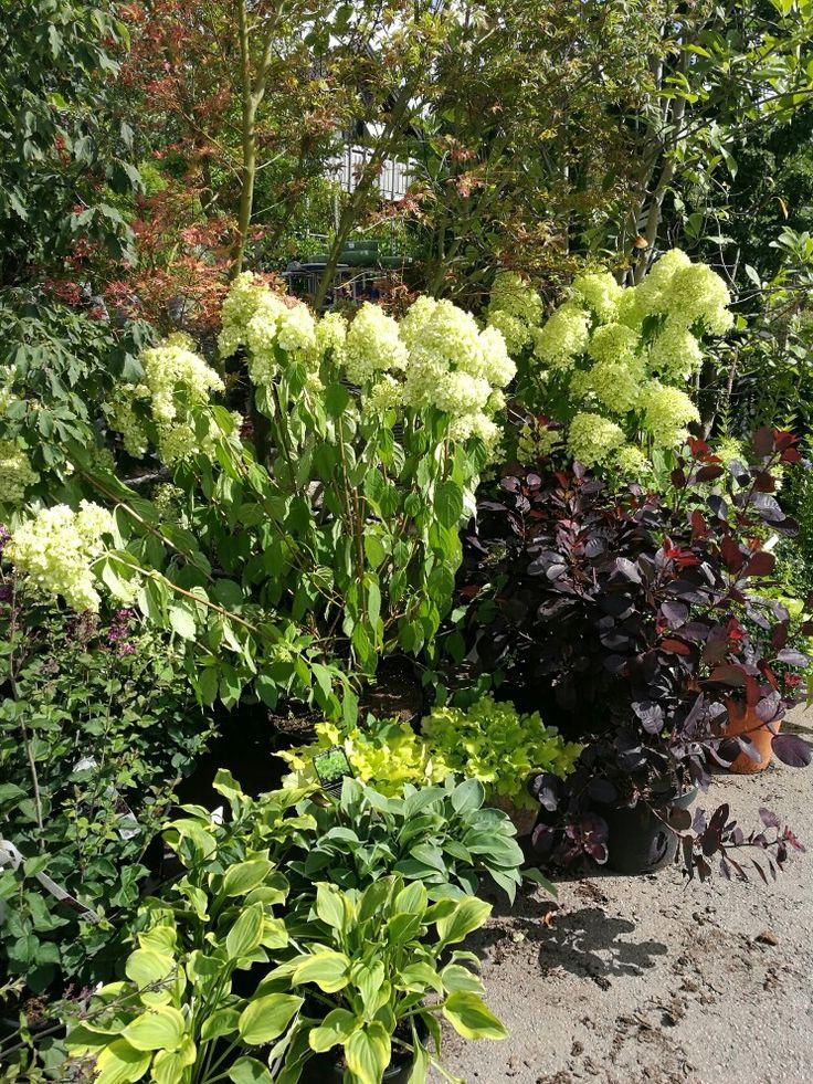 Hortensia 'Limelight', perukbuske och hostor