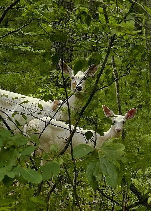 """Many years before I was born,"" she begins eagerly, ""when they first brought wildlife to the Solenian Archipelago - people on the island of Reganta used to see a family of albino deer in the forests in the North..."""