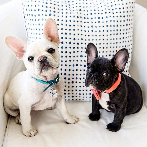 Chloe and Charlie being insanely cute! Limited Edition French Bulldog Tee http://teespring.com/lovefrenchbulldogs