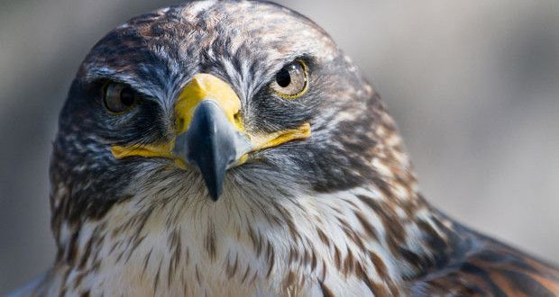 صور صقور رائعة موقع صور يومصر Eagle Wallpaper Eagle Images Hunting Wallpaper