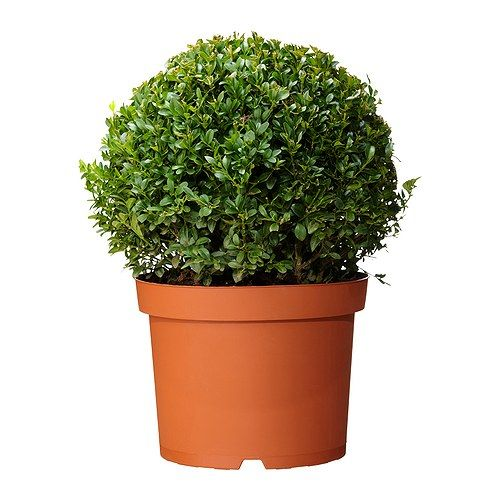 BUXUS SEMPERVIRENS Roślina doniczkowa IKEA