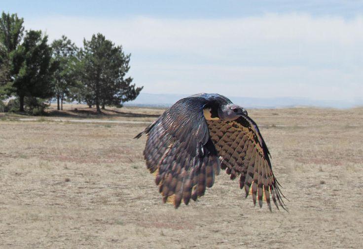 Harpy eagle hd american harpy eagle wallpaper birds - Harpy eagle hd wallpaper ...