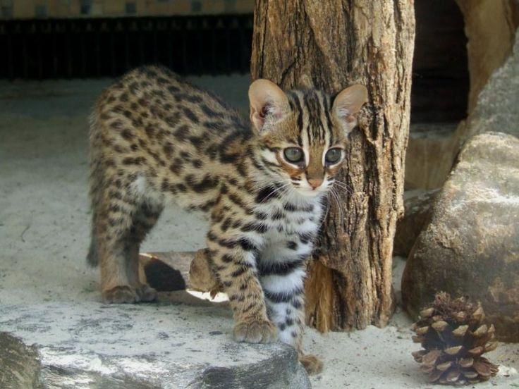 Asian leopard cat #kitten #kitty