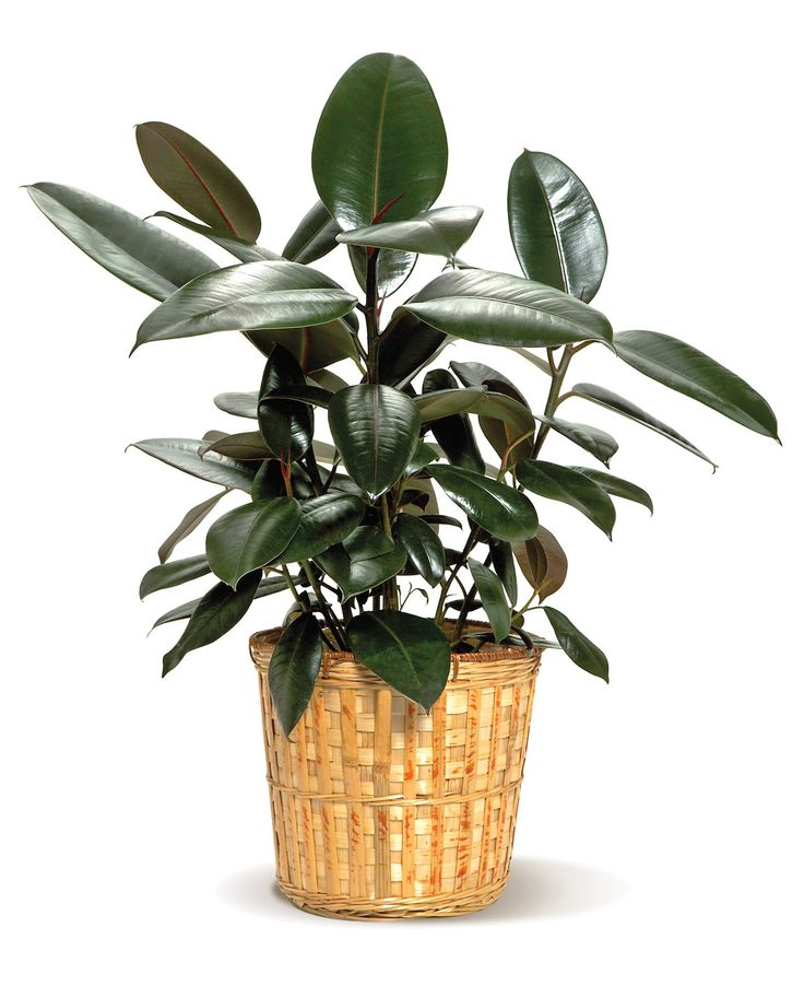 Rubber Tree - Colonial House of Flowers | The Florist of Statesboro & Georgia Southern