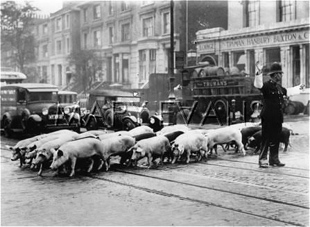 Details Not an ordinary picture, a British policeman regulating the traffic for a herd of pigs in the Spitalfields area of London, around 1930. Mary Evans Search and Select