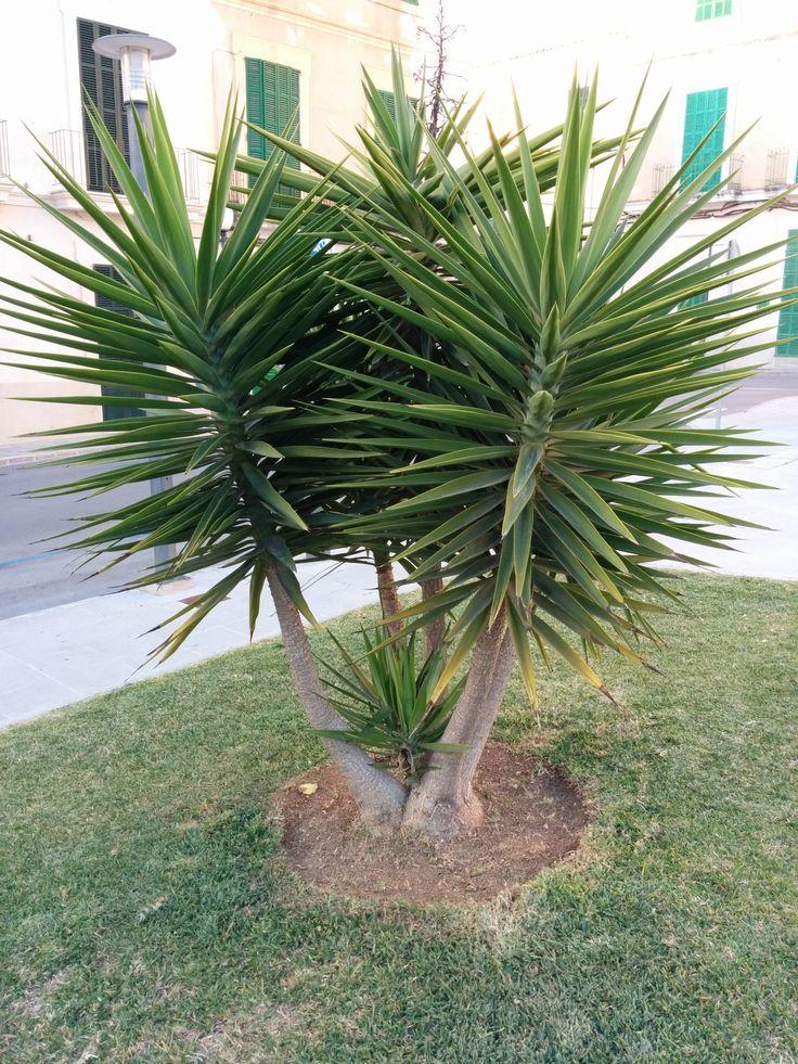 Yucca sp agav cia iuca o juca for Yucca elephantipes exterieur