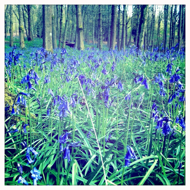 Bluebell wood Coldharbour.