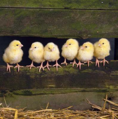 chicks on the farm