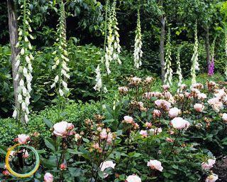 Pashley Manor Gardens. Una casa privata (non accessibile) in stile Georgian/Tudor, che apre le porte del suo giardino per potervi ammirare le bellezze e le rarità. Caratteristico è il Rose Walk, ornato da siepi di rose 'Albertine', da lavande e alberi da frutto a chandelier, e il Rose Garden, che racchiude molte rose particolari... una addirittura porta il nome della proprietà!